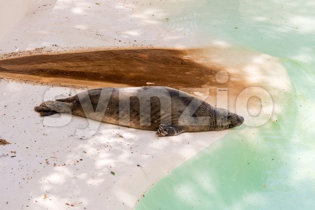 Brown fur seal sleeping at the zoo Stock Photo