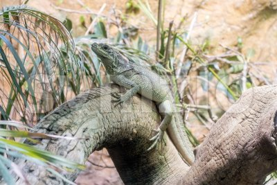 Common green iguana resting on a tree trunk in tropical environment Stock Photo