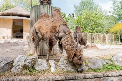 Camels looking for food at the zoo Stock Photo