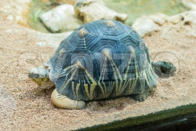 The radiated tortoise, endemic turtle from south of Madagascar Stock Photo