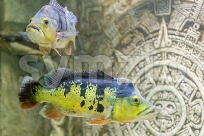 Closeup of tropical fishes underwater in aquarium Stock Photo