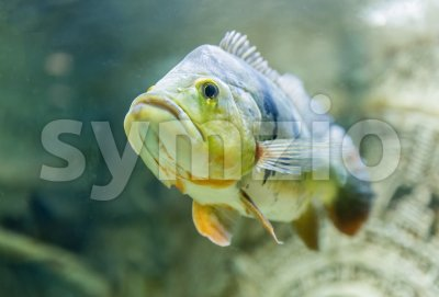 Closeup of a tropical fish underwater in aquarium Stock Photo