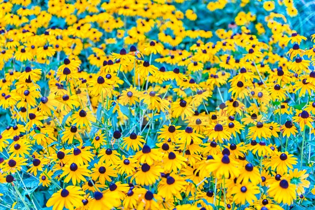 Field of black-eyed Susan (Rudbeckia hirta) flowers with selective focus. May be used as background