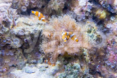 Closeup of clownfishes in aquarium environment Stock Photo
